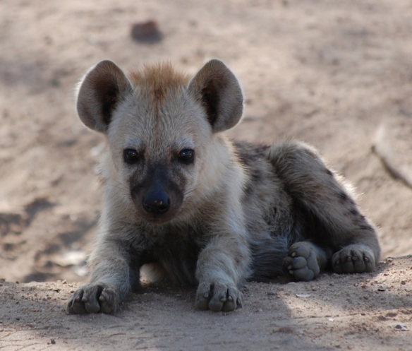 This orphaned baby hyena on the side of the road was the kid's favorite sighting.  They named it (Jaquelina) and kept asking to take it home…Uh…..No!