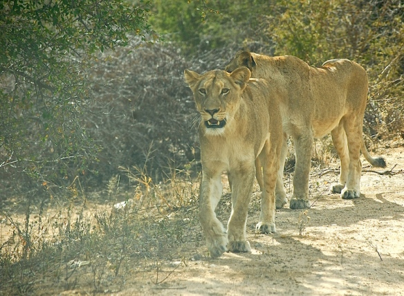 Two lionesses walking along the side of the road!